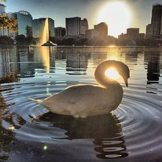 #lakeeola #swan Watching the beautiful sunset from our new neighborhood. #citylife #igers_orlando