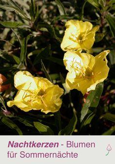 Nachtkerzen - Blumen für laue Nächte im Garten