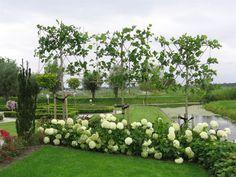 Deze snelgroeiende leiboom is prima geschikt voor afscheiding, zeer snelle groeier en kan in alle gronden geplaatst worden. Moet wel minimaal 1 keer per jaar gesnoeid worden. In diverse stamhoogte's leverbaar.