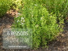 Thyme is a common herb in the herb garden. Here are six reasons why you should add thyme to your garden.