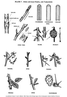 Plate 7: Stem and Leaf Parts, and Variations.