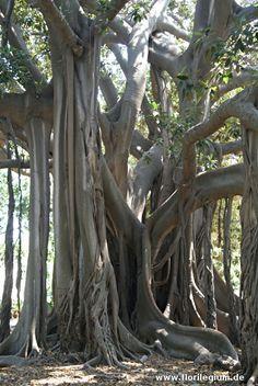 Ficus macrophylla im Botanischen Garten von Palermo, Sizilien  http://www.florilegium.de/blog/gaerten/der-botanische-garten-palermo-sizilien.html
