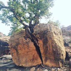 The power of argan tree. قوة شجر الاركان. #argan #arganoil #arganoilbenefits