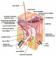 The skin (Wikipedia)