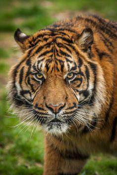 Sumatran Tiger Cub by Patrick Walker on Siberian Tiger, Bengal Tiger, Beautiful Cats, Animals Beautiful, Panthera Tigris Sondaica, White Tiger Cubs, White Lions, White Tigers, Big Cats