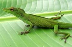 mini lagarto do Amazonas