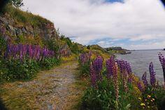 Lupins on Shoreline Heritage Walk - Newfoundland<3