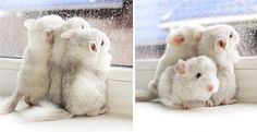 1. These adorable baby chinchillas are probably waiting for their mom to come home and feed them.