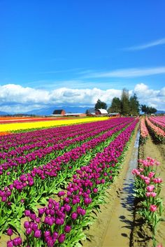 Tulip fields at the Skagit Valley Tulip Festival in Washington