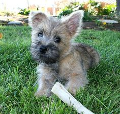 Cairn puppy from Tumblr.
