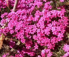 Phlox ´Crackerjack´ Garden, Plants, Lawn And Garden, Gardens, Plant, Outdoor, Home Landscaping, Tuin, Planting