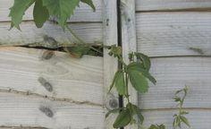 Tipps gegen wuchernde Pflanzen -   Das hat wohl jeder Hobby-Gärtner schon erlebt: Das kleine, zierliche Pflänzchen aus dem Gartencenter entpuppt sich schon nach wenigen Jahren im Garten als wahres Unkraut. Aber: Es gibt ein paar gute Tricks, wuchernde Pflanzen im Zaum zu halten.