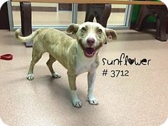 Sunflower - URGENT - Alvin Animal Adoption Center in Alvin, Texas - ADOPT OR…