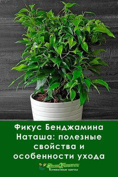 Фикус бенджамина Наташа напоминает маленькое деревце и считается символом благополучия. А еще это комнатное растение очищает воздух в доме и неприхотливо в уходе.