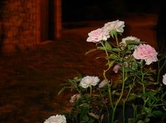 Roses by night