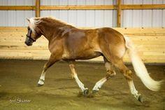 Stellar TVR | Dressage Horses For Stud | DressageMarket.com