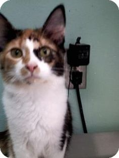Columbiana, AL - Domestic Mediumhair. Meet Calico Jill, a kitten for adoption. http://www.adoptapet.com/pet/16848056-columbiana-alabama-kitten