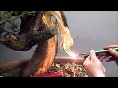First styling of a mugo pine - February 2015 Indoor Bonsai Tree, Bonsai Art, Bonsai Plants, Planting Plants, Mugo Pine, Tropical Flowers, February 2015, Herbalife, Mini