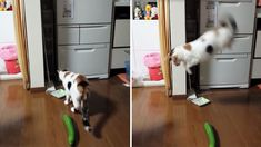 Scaredy-cat! Watch this feline get a fright from one menacing vegetable