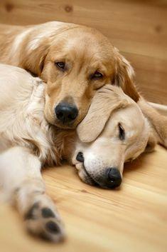 Snoozing buddies....These Golden Retrievers found on fundogpics.com #GoldenRetriever