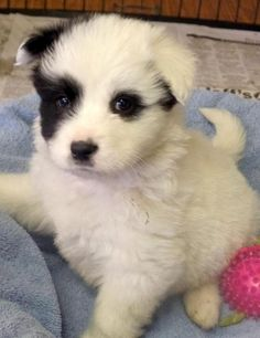 Enzo is an #AmericanEskimoDog up to date on all his vaccinations and dewormings. This great #puppy is going to make some lucky adopters very happy, so don't delay! http://www.doggielife.com/enzo/dogs/TTSTYU