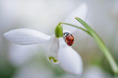 Snowdrop Lady by Jacky Parker on 500px