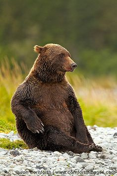 Kukak Brown Bear Katmai National Park By Cornforth Images Beautiful Creatures, Animals Beautiful, Cute Animals, Love Bear, Big Bear, Panda Bear, Polar Bear, Grizzly Bears, Mundo Animal