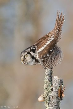 Northern Hawk owl about to take flight by Mike Lentz Photography
