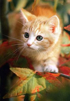 New cats and kittens adorable fur 54 Ideas Cute Little Kittens, Cute Cats And Kittens, Baby Cats, Kittens Cutest, Pretty Cats, Beautiful Cats, Animals Beautiful, Orange Kittens, Mundo Animal