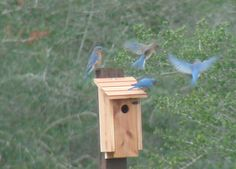 Establish a Nest Box Trail for Bluebirds