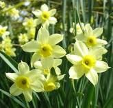 Jonquils. They grow all around our farm where I grew up as a kid. I'll probably get a tattoo of one eventually.