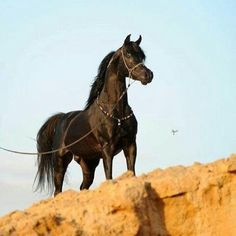 خيل Dark Arabian Horse peeking over the edge of a sandy cliff. Beautiful horse carrying himself so strong, proud and spirited!
