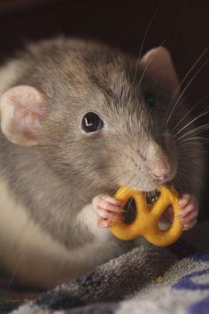 "* * "" No ones I knowz likes pretzels buts meez. Even racoons ! """