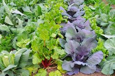 Photo about Winter vegetables growing in a garden including Broccoli, Rhubarb, Cabbage and Red Cabbage. Image of food, winter, healthy - 17656283 Vertical Vegetable Gardens, Indoor Vegetable Gardening, Home Vegetable Garden, Container Gardening, Urban Gardening, Organic Gardening, Perennial Vegetables, Growing Vegetables, Dwarf Flowering Shrubs
