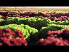 McDonald's Lettuce Supplier Video. From Farm to Fork!