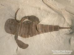 Eurypterus, a type of sea scorpion from the Silurian Period (approx 432 - 418 mya). Sizes,depending on species, ranged from 5 - 9 inches to the largest specimen at feet. Weird Creatures, Sea Creatures, Scorpion, Dinosaur Fossils, Prehistoric Creatures, Large Animals, Science And Nature, Natural History, Devon