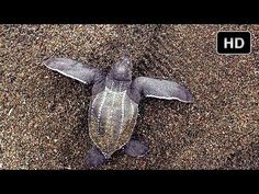 Last Stand of the Leatherback - Behind the Scenes of Journey to the South Pacific - IMAX® 3D Film - YouTube