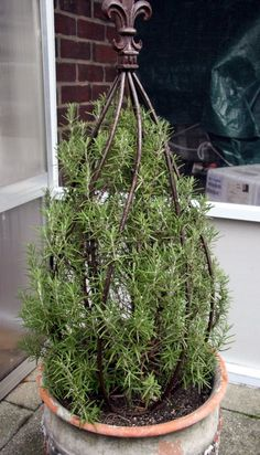 Rosemary topiary....I like the variety Arp, good for wintering over. But this pot could be taken indoors for winter.