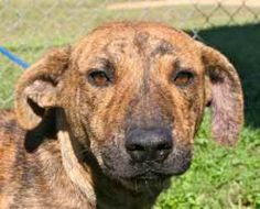 Tracy is an adoptable Catahoula Leopard Dog Dog in Chipley, FL. Tracy is a 10 to 12 month old female catahoula cross, about 30 to 35 pounds. She has a beautiful brindle coat in colors from tan to dark...