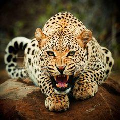 Leopard- ferocious!  Soo pretty.. love all types of .. CATS!