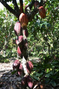cacao criollo.tolerante a plagas y enfermedades,