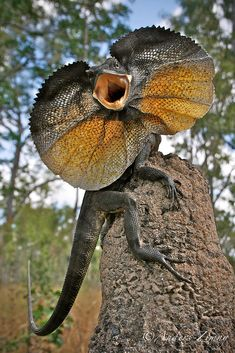 Photograph by Anders Zimny, My Shot A frilled lizard in its defense posture during a 2010 field trip to Cape York, Australia. Crazy to think this is the same type of lizard that falls asleep on my shoulder all the time Reptiles Et Amphibiens, Mammals, Beautiful Creatures, Animals Beautiful, Funny Animals, Cute Animals, Wild Animals, Funny Lizards, Unique Animals