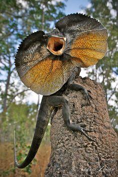 https://flic.kr/p/fwm6b6 | Chlamydosaurus kingii (Frillneck Lizard) | Oyala Thumotang National Park, QLD. Former known as Mungkan Kandju National Park.