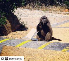 Velkommen til oss. Vær på de når du er i Sør-Afrika. Apekattene der er over gjennomsnitt glade i solbriller #reiseliv #reisetips #reiseblogger #reiseråd  #Repost @permagneb (@get_repost)  #memori #ape #apekatt #pitsa #capeofgodhope