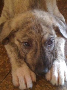 Look at this face! I need an irish wolfhound! Irish Wolfhound Puppies, Irish Wolfhounds, Dog Lady, Baby Dogs, Simple Pleasures, Mans Best Friend, Frogs, Dog Stuff, Cute Dogs