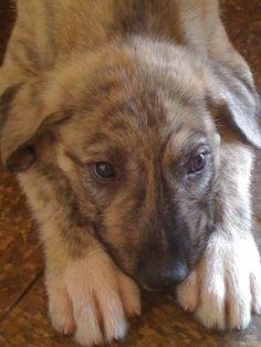 Sweet Irish Wolfhound Puppy, Roarie Rafferty #irishwolfhoundpuppy