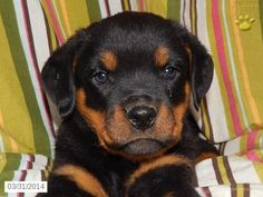 Rottweiler Puppy for Sale in Ohio