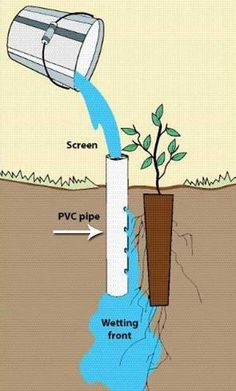 11. Deep pot irrigation uses an open-ended PVC pipe placed next to a planted seedling.