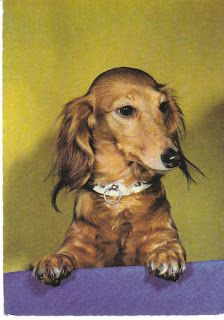 Cute and curious dachshund, lime and purple background. View from the Birdhouse: Dear Abby: Dachshund Postcards
