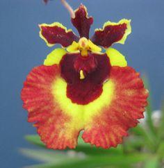 Orchid: Tolumnia Golden Luis 'Hapsburg'